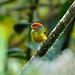 spiderhunters has added a photo to the pool:Another Peruvian endemic, Tthis species was first collected in 1970 but wasn't described as a new species until 2001. It was then called Lulu's Tody-Tyrant, later changed to its current name. This tiny attractive flycatcher has a tiny range and is considered Endangered due to ongoing habitat loss in the montane forests of its narrow range. Abra Patricia, San Martin, Peru. Aug 2015.