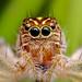 jumper spider by Rui Pará
