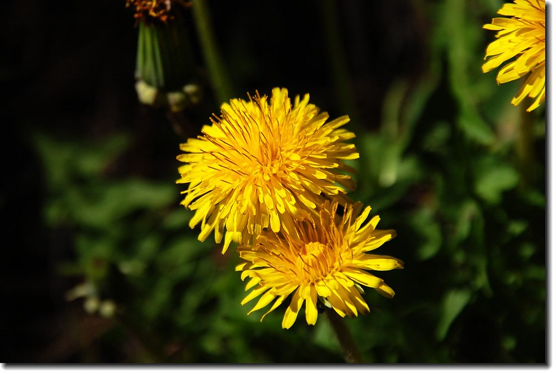 Common Dandelion(Echo lake) 2