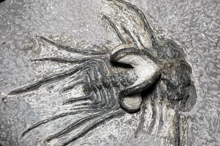 Dicranurus monstrosus (Barrande, 1852) - 80 mm