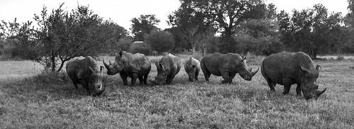 southafrica rhino rhinoceros krugernationalpark mpumalanga krugerpark kruger sandriver whiterhino africansky sabisands umkumbe umkumbesafarilodge