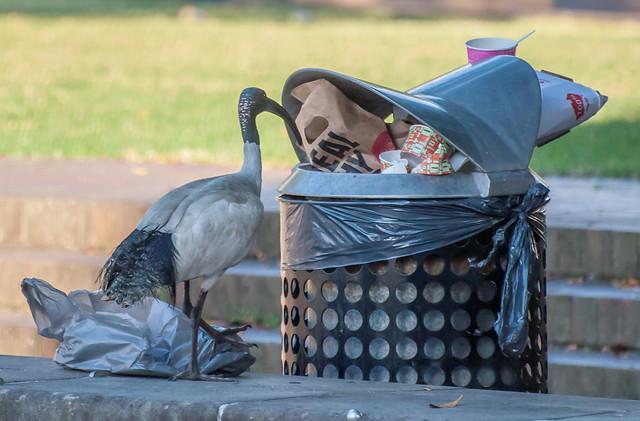 a50-ibis2