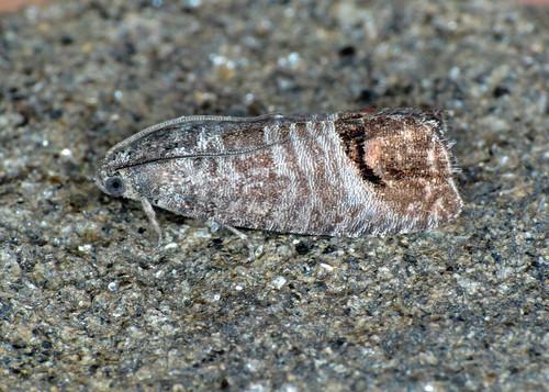 1261 Codling Moth - Cydia pomonella