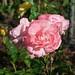 Rose mit Viech