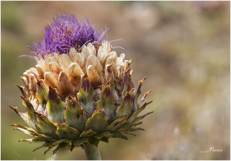 """""""Flor de alcachofa"""" - Nefertari"""