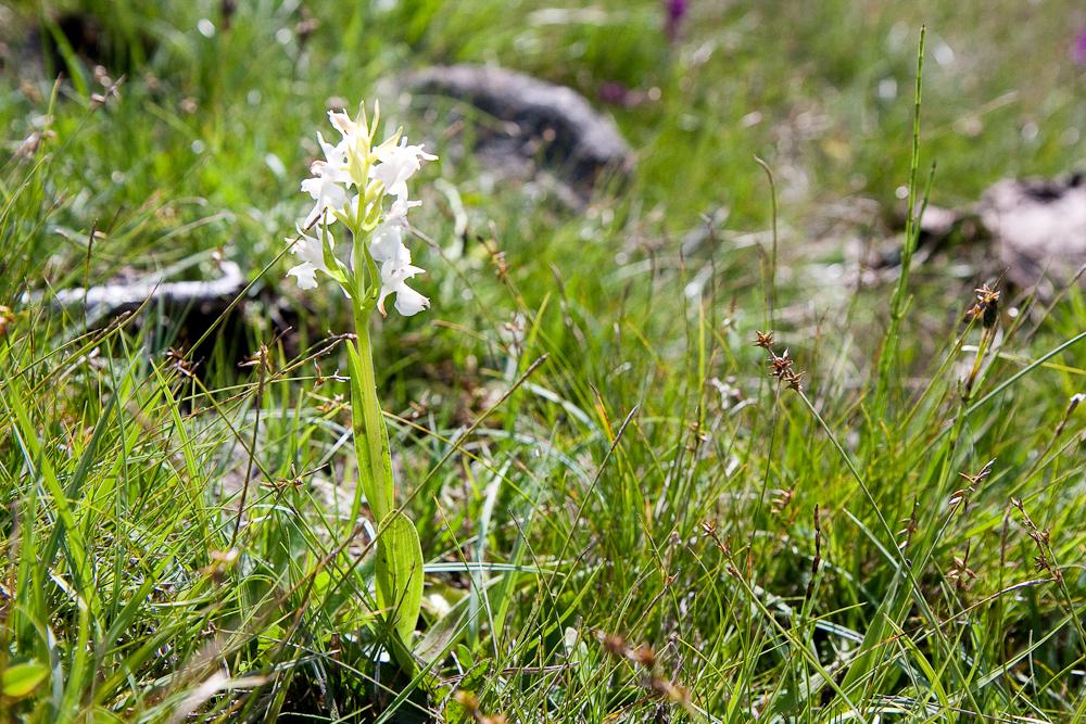 Vallée de Campan - Orchis/Ophrys