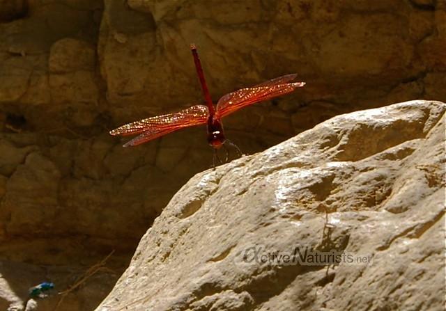 dragonfly 0000 Nahal Arugot, Dead Sea, Israel