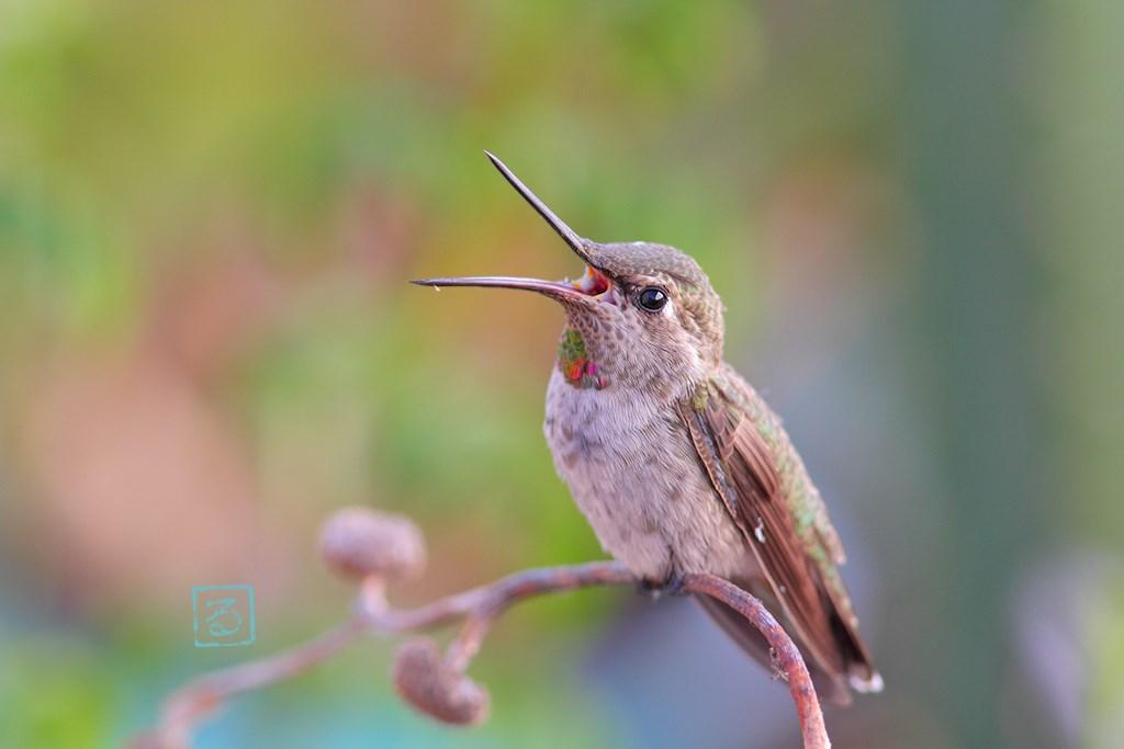 immatua male Anna's Hummingbird 010714