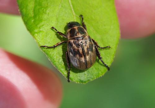 Exomala orientalis (Oriental Beetle) P6280540