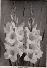 """Image from page 5 of """"Trade price list of choice gladioli, lilies and various bulbs and plants grown by John Lewis Childs"""" (1909)"""