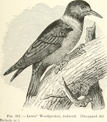 """Image from page 76 of """"Key to North American birds. Containing a concise account of every species of living and fossil bird at present known from the continent north of the Mexican and United States boundary, inclusive of Greenland and lower California, w"""