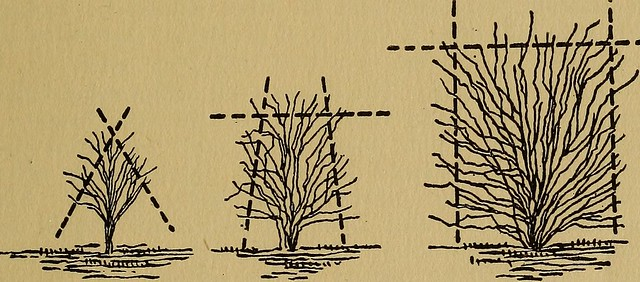 "Image from page 32 of ""The little pruning book; an intimate guide to the surer growing of better fruits and flowers"" (1917)"