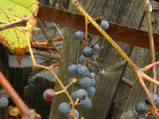 grapes and rust