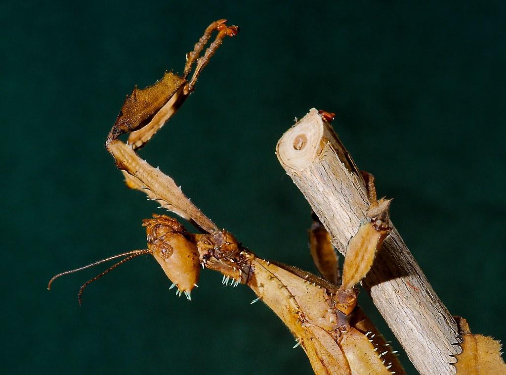 Prickly Stick Insect (Extatosoma tiaratum)_3
