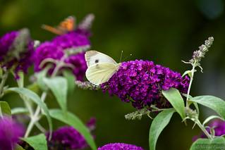 2014-07-20 Schmetterling