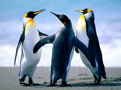 animal(1.0), penguin(1.0), flightless bird(1.0), fauna(1.0), king penguin(1.0), beak(1.0), bird(1.0),