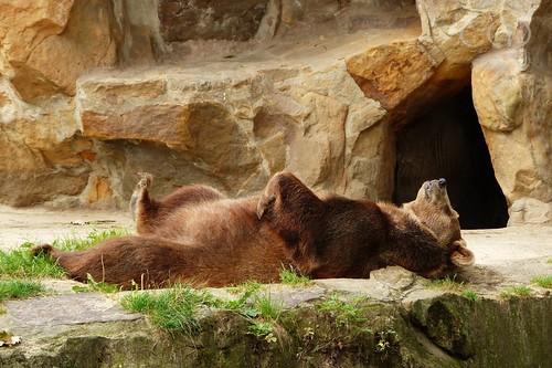 Lazy bear...