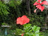Tropical hibiscus:  two different forms