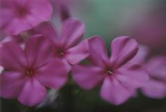 Film: Pink flowers