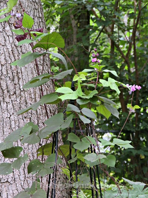 hyacinthbean2