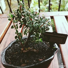 The last bonsai tree we bought was from the Japanese Festival at the Missouri Botanical Gardens in St Louis. Unfortunately, that tree died a slow and painful death. Let's hope this one survives!