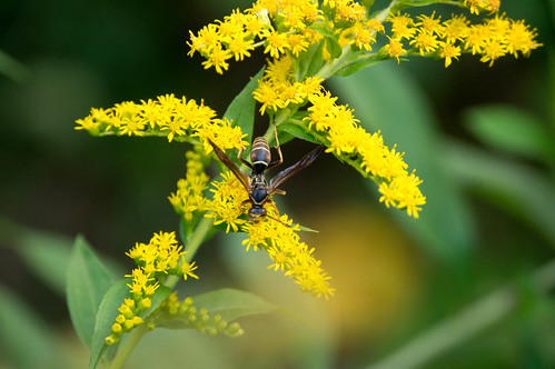 09825 Northern Paper Wasp