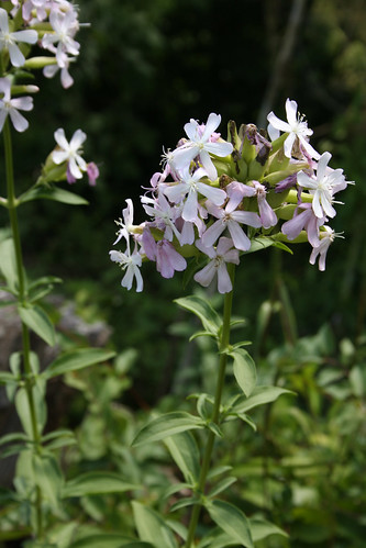 Soapwort, Saponaria officinalis