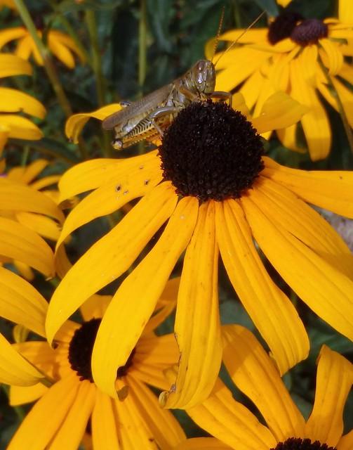 grasshopper on black-eyed susan