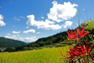 "Red spider lilies in ""tanada"" (terraced rice fields) of Sakaori."