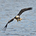 Bald Eagle by mikep3460