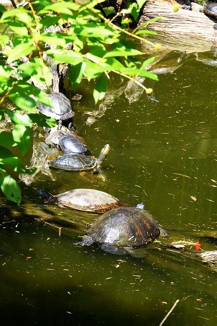 Turtles on a Log 1