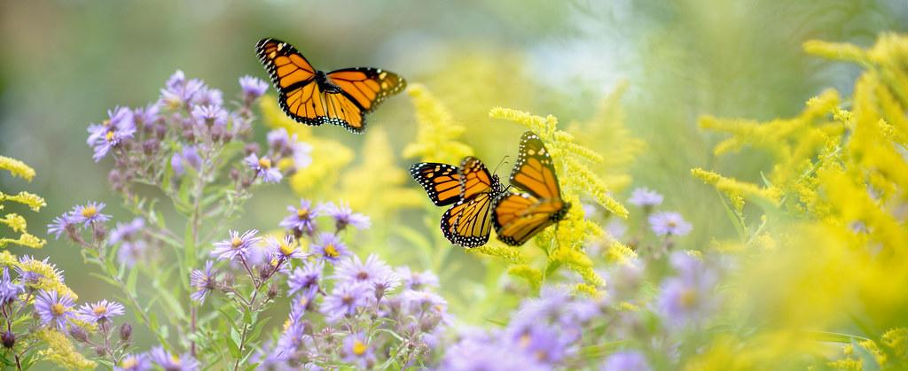 monarch migration