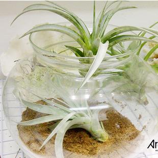 art plant | cay khong khi | tieu canh khong khi | terrarium | khong khi thanh phong
