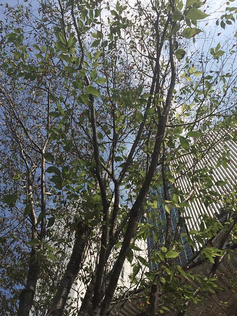 心配? : 歌舞伎座前でまた枯れかけている樹