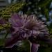 clematis josephine, myyard, jdy126 XX201105063361.jpg