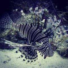 deep sea fish(0.0), wing(0.0), animal(1.0), fish(1.0), organism(1.0), marine biology(1.0), fauna(1.0), lionfish(1.0), scorpionfish(1.0), underwater(1.0), reef(1.0),