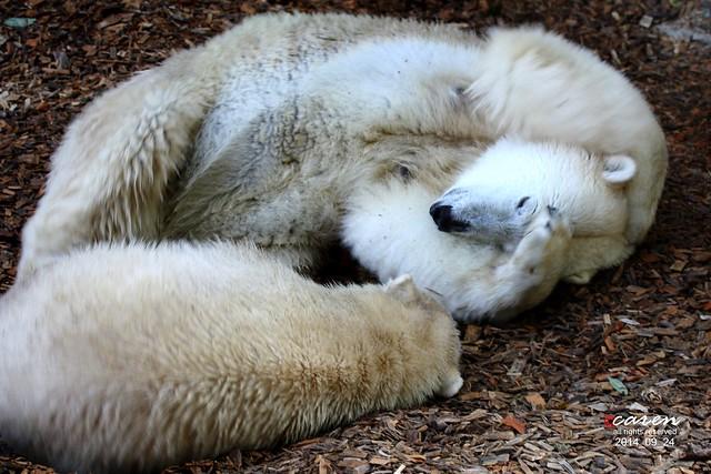 Eisbären Giovanna & Nobby 2014_09_24 248