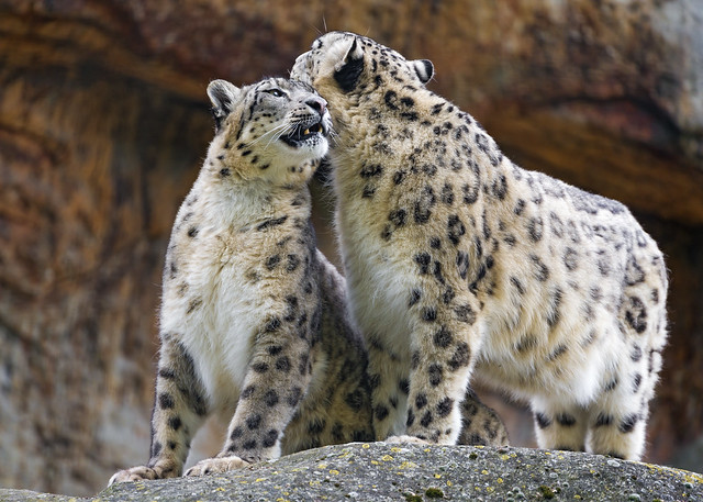 Big Cats Facts National Geographic