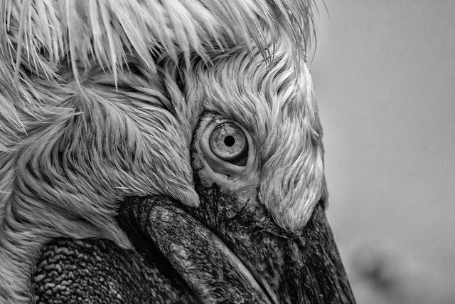 Through A Pelican's Eyes