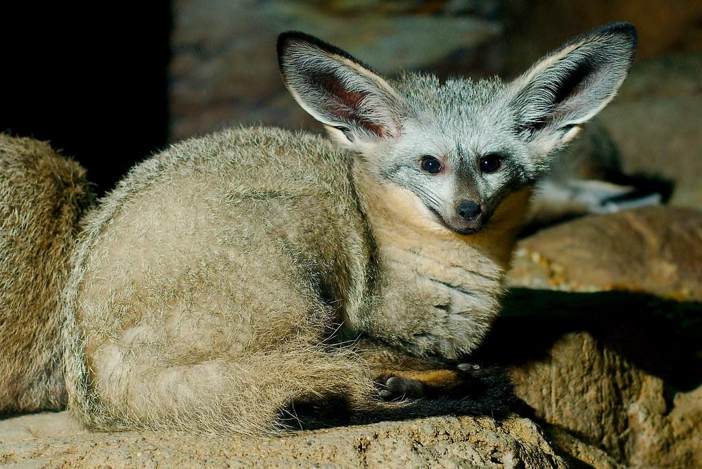Bat Eared Fox (Otocyon megalotis)_2