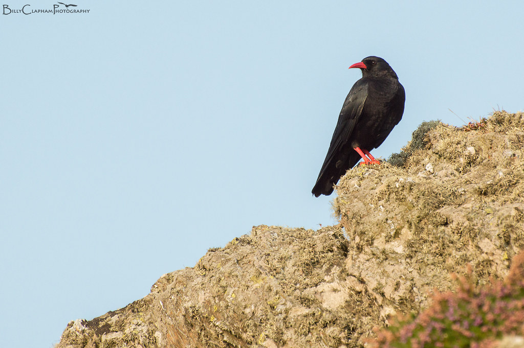 chough anglesey
