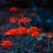 彼岸花  -  Cluster Amaryllis
