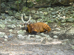 Memphis Zoo 08-31-2016 - Bongo 11