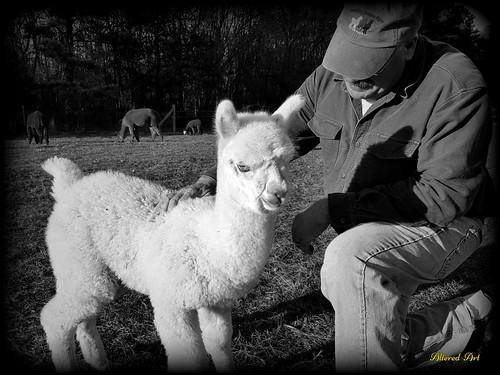 Baby Alpaca (black & white)