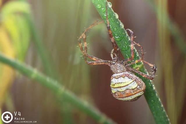 Argiope versicolor ♀