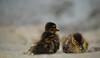 Twickenham - ducklings