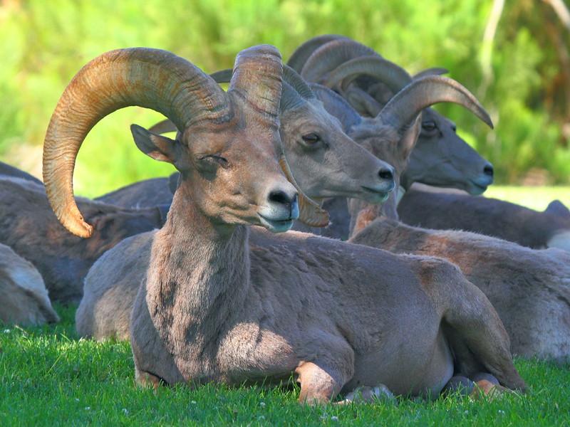 IMG_3520 Bighorn Sheep
