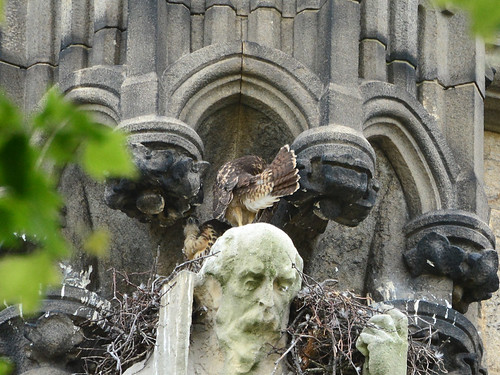 Cathedral Hawk Nestlings (1684)