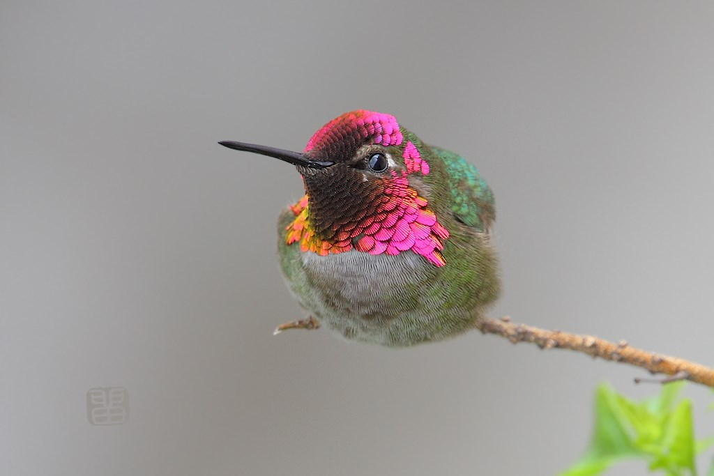 Anna's Hummingbird 130614