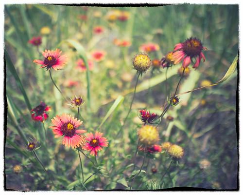 flowers red orange color nature yellow canon texas bokeh wildflowers matthewvisinsky mattvisinsky canoneosm